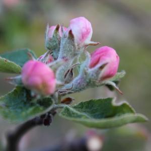 Äppelknopp