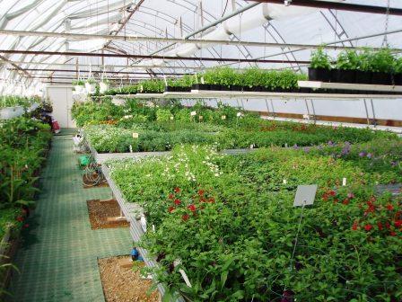 Sommarblommer på tillväxt i växthuset