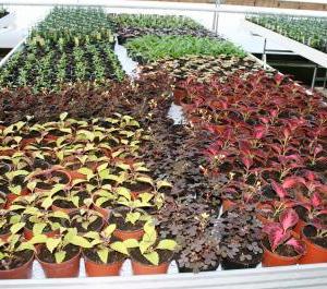 Perenner i odling
